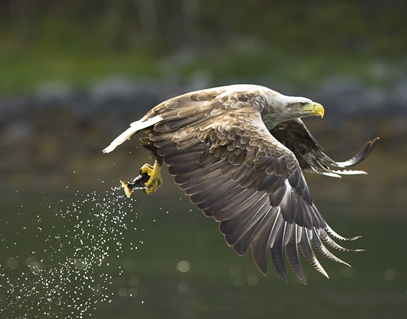 what do eagles eat - Eagle fetching a fish