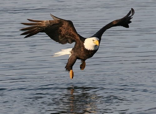 Bald Eagle flying over water, what do eagles eat | what do bald eagles eat