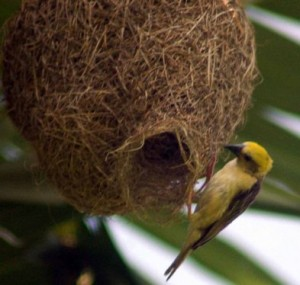 Weaver birds nest