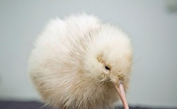 Rare White Kiwi Chick Pictures