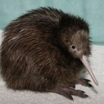 Kiwi Bird Facts – Kiwi Bird Habitat & Egg