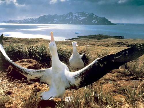 Wandering Albatross bird largest wingspan