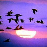 Why do birds migrate – Bird Migration Facts
