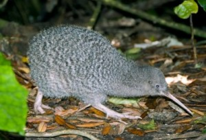A picture of grey kiwi bird with spotted feathers