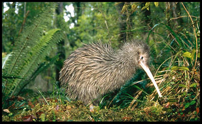 Kiwi Bird Pictures in jungle