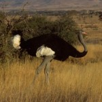 Largest Bird in the World – The Ostrich