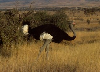 Flightless Bird and largest Bird ostrich