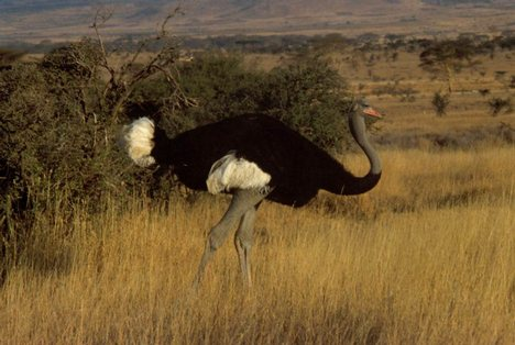 Large Flightless Birds - ostrich