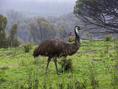 Emu Bird in Forest - large flightlessbirds