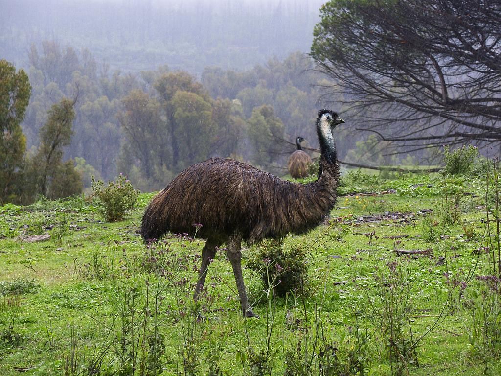 Emu Bird in Forest