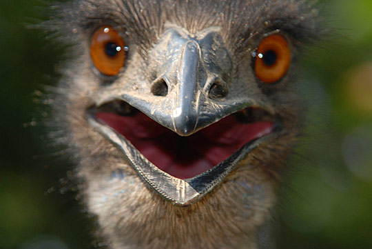 Emu bird behaviour