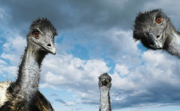 Three Emu Birds - Emu bird facts for kids