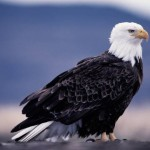 Bald Eagle Facts For Kids – Bald Eagle Habitat & Behavior