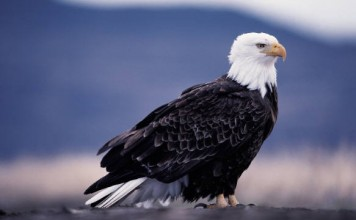 American Bald Eagle picture | bald eagle facts for kids