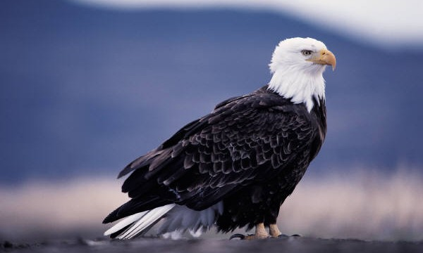 Perfect American Bald Eagle Picture | Bald Eagle Facts For Kids