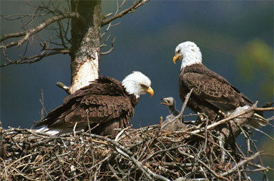 American Bald eagles' habitat