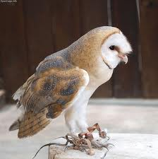 Barn owl | types of owls