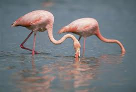 Two flamingos feeding - what do flamingos eat