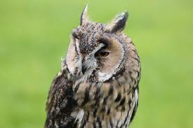 long-eared owl - Types of owls