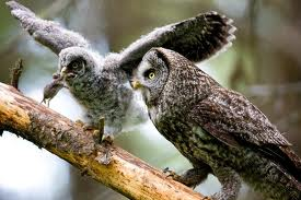 owl feeding - What do owls eat