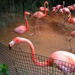 What Do Flamingos Eat? Flamingos facts about their feeding