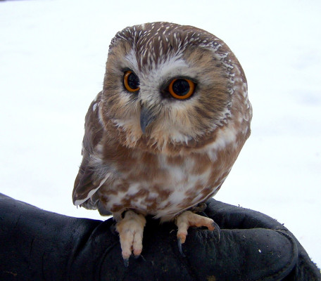 Western Screech Owl - Types of owls