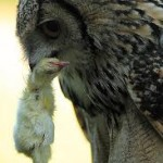 What do Owls Eat? What do Types of Owls Eat