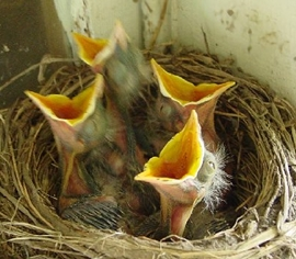 What do Baby Birds Eat - What do Birds Eat