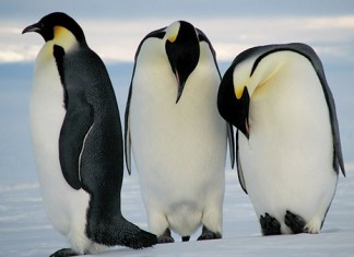 three emperor penguins in antarctica - emperor penguin facts for kids