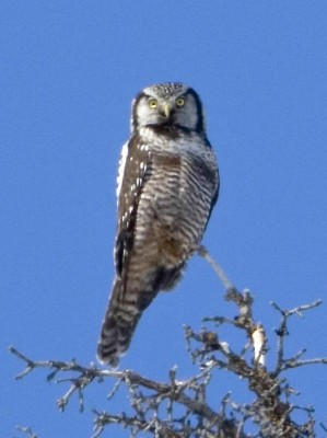 Northern Hawk Owl - Types of Owls