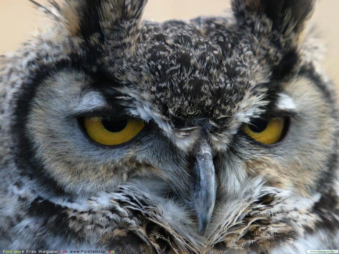 Owl facts for kids - Great horned owl