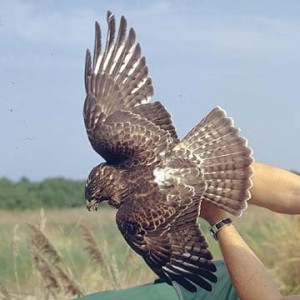 types of hawks - Broad-winged Hawk