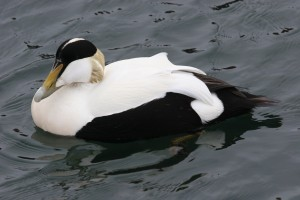Types of Ducks - COmmon Eider