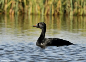 Types of Ducks - common scoter