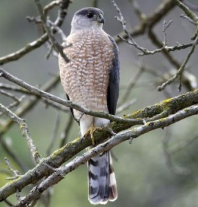 types of hawks - Coopers Hawk