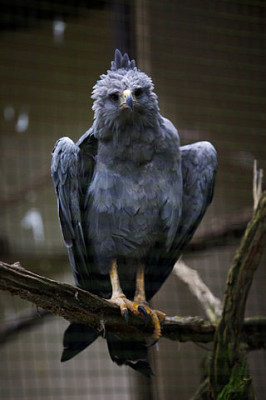Crowned Solitary Eagle