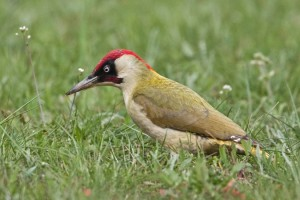 types of woodpeckers - European Green Woodpecker