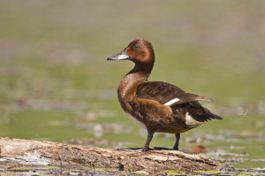 Types of Ducks - Ferruginous Duck