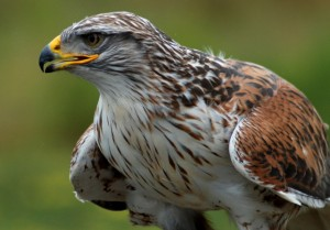 Ferruginous Hawk - Different types of hawks