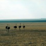 Where Do Ostriches Live – Ostrich Habitat