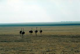 Five ostriches - Where do ostriches live