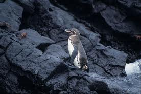 Galapagos Penguin -  Different Types of penguins