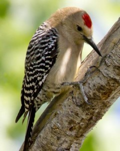 types of woodpeckers -Gila Woodpecker
