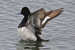Types of Ducks - Greater Scaup