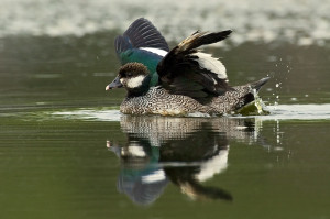 Types of Ducks - green pygmy goose