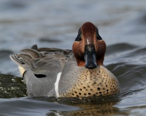 Types of Ducks - green winged teal