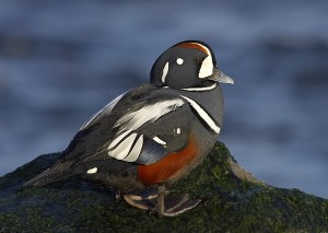 Types of Ducks - harlequin duck