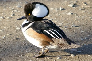 Types of Ducks - hooded merganser