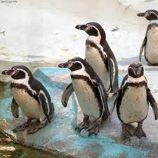 Humboldt penguin -  Different Types of penguins