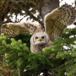 Great Horned Owl Facts For Kids – Great Horned Owl Habitat
